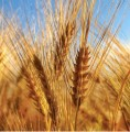 Grano duro biologico, in Sicilia via libera alla deroga: si potrà coltivare ogni due anni